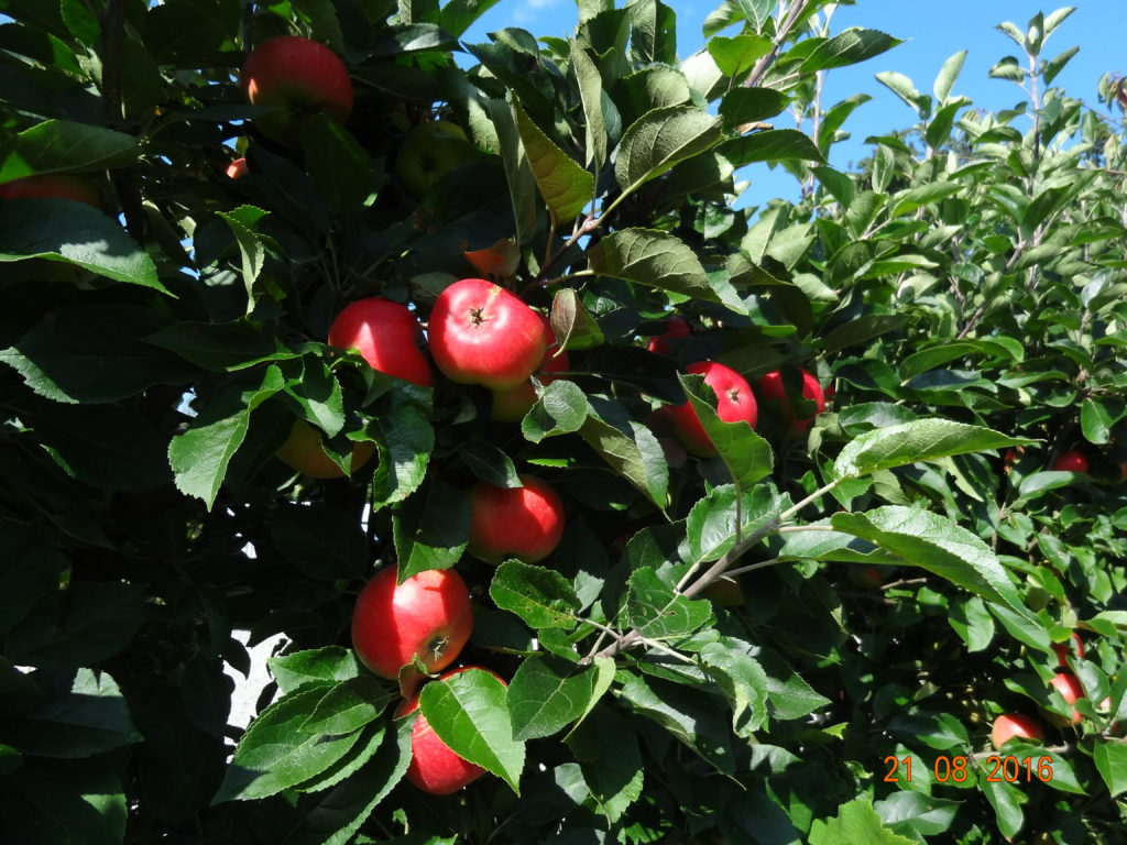 Discovery Æbletræ