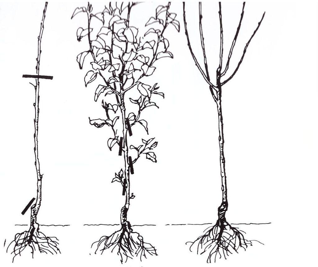 Beskæring af 2 års frugttræ