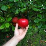 Rød Aroma Æbletræ