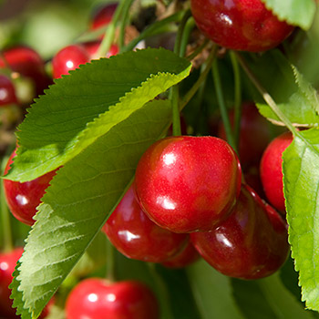 Nabigos Sødkirsebærtræ (Morell)