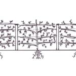 Etablering af frugthække