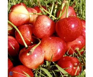 Buttners Rote Sødkirsebærtræ (Morell)