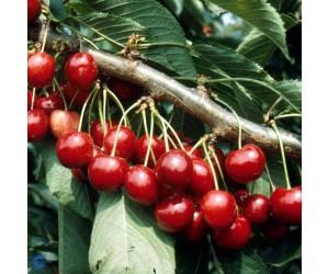 Lapins Sødkirsebærtræ (Morell)