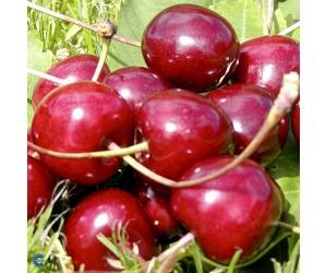 Sunburst Sødkirsebærtræ (Morell)
