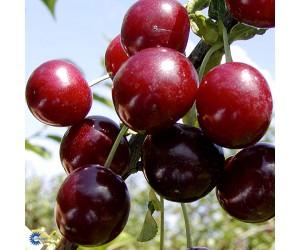 Heddelfinger Sødkirsebær (Morell)