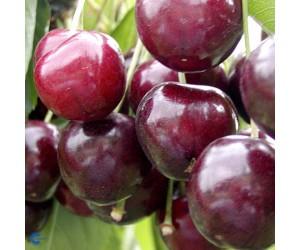 Stella Sødkirsebærtræ (Morell)