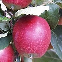 Summerred Æbletræ