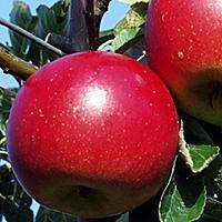 Bellida Æbletræ