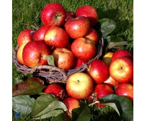 Rubinola Æbletræ