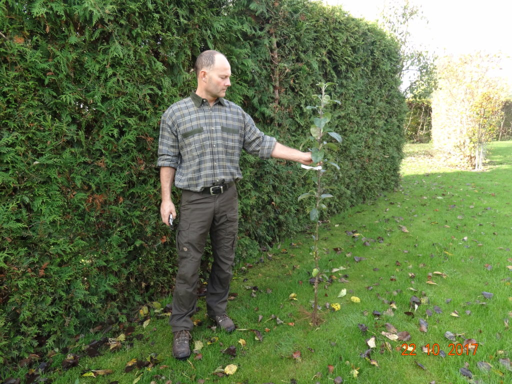 1 års æbletræ klar til udplantning