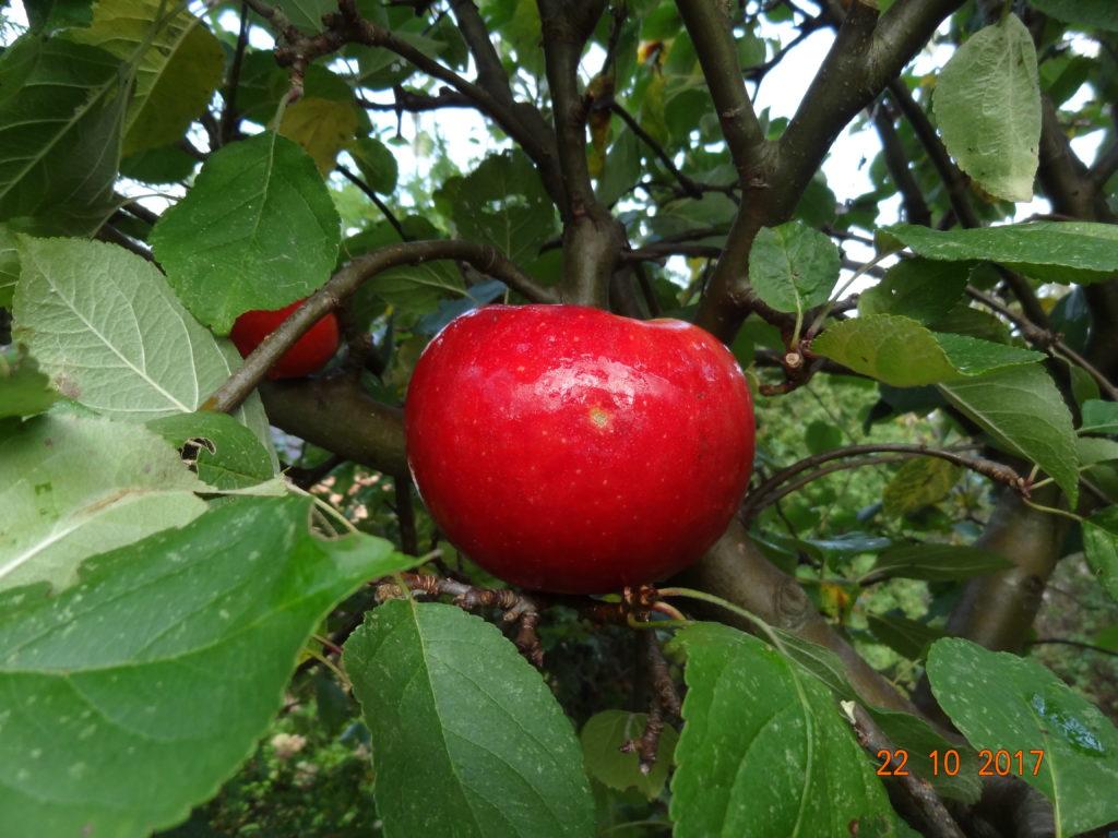 Æble Rød Aroma