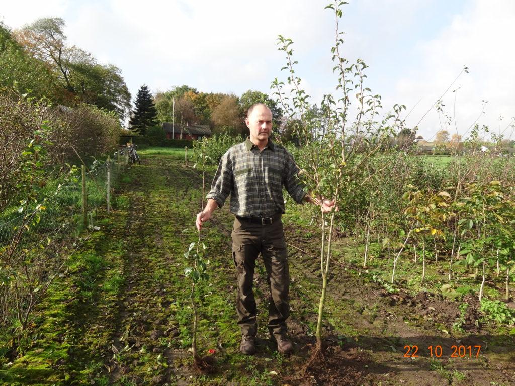 1 års samt 2 års pæretræ klar til udplantning