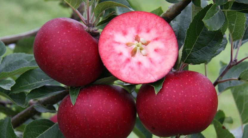 Rosette Æbletræ